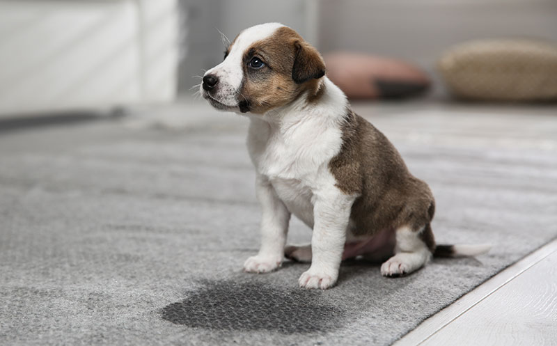 small puppy with pee stain on carpet