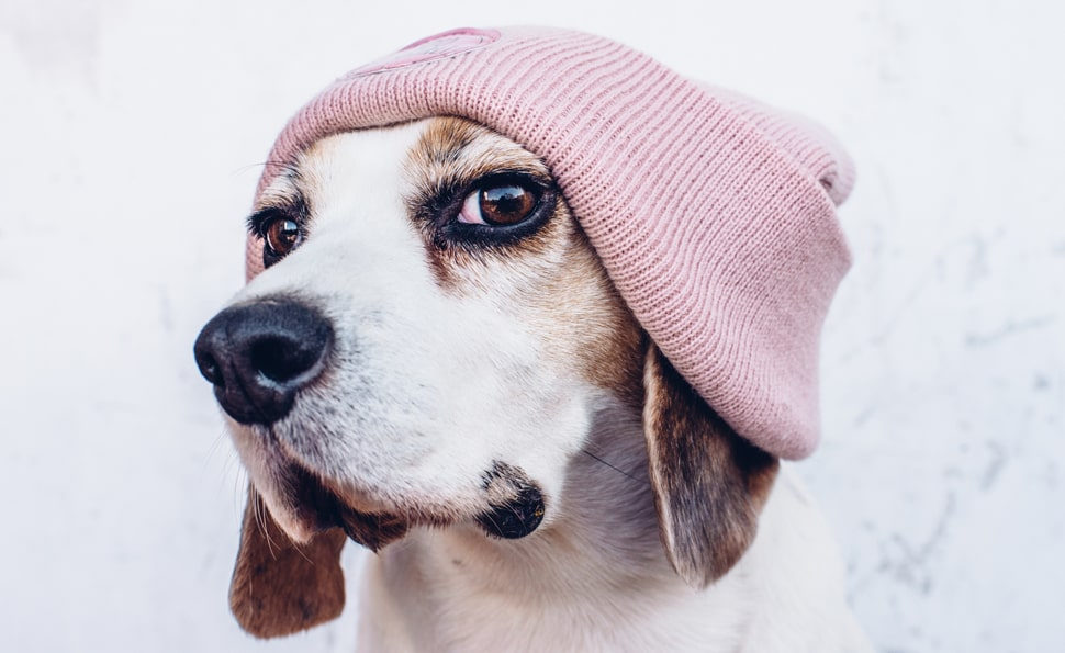 Small dog wearing a beanie