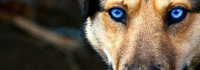 dog's face with very blue eyes