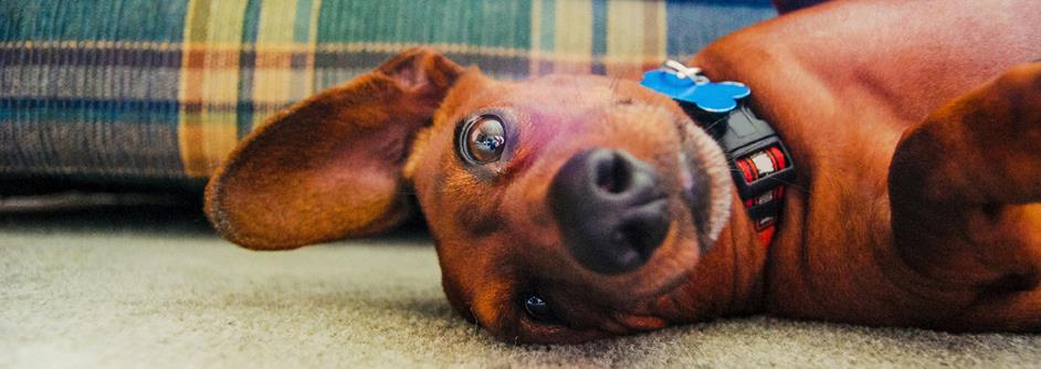 Dachshund laying on rug wearing collar