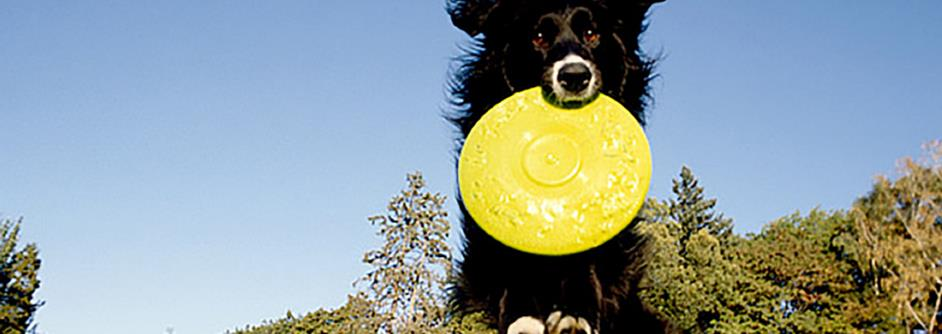 dog carrying a Frisbee in its mouth