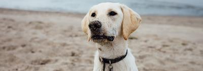 Labrador dog on beach