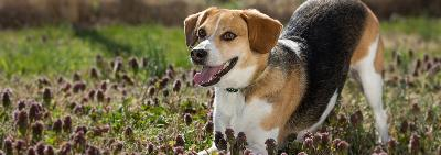 happy beagle in a field on a sunny day