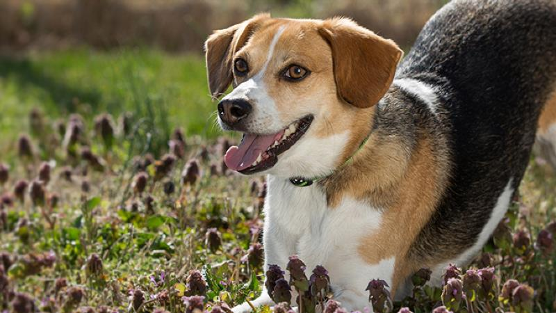 The Beagle As A Hunting Hound | PEDIGREE®