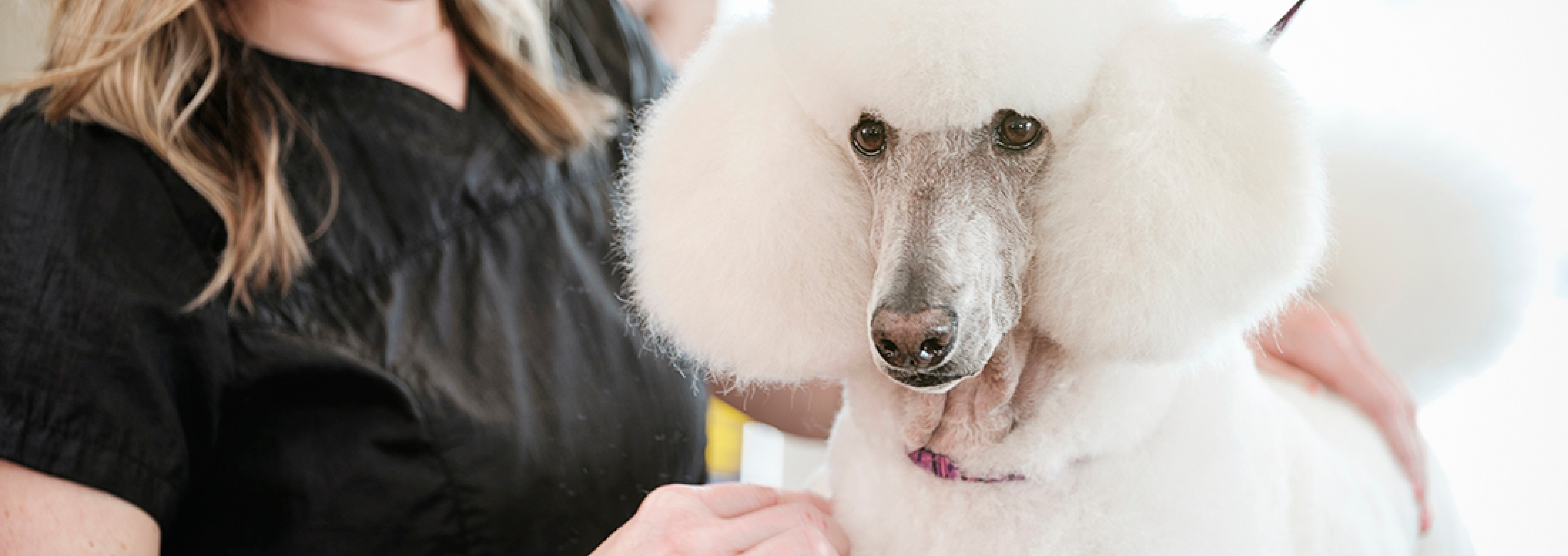 A Short History Of Poodle Grooming