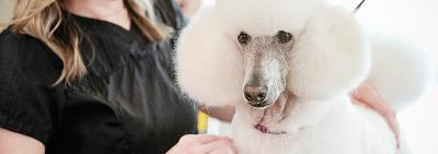 poodle being groomed