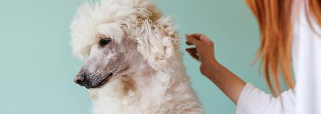 caring for a Poodle's hair