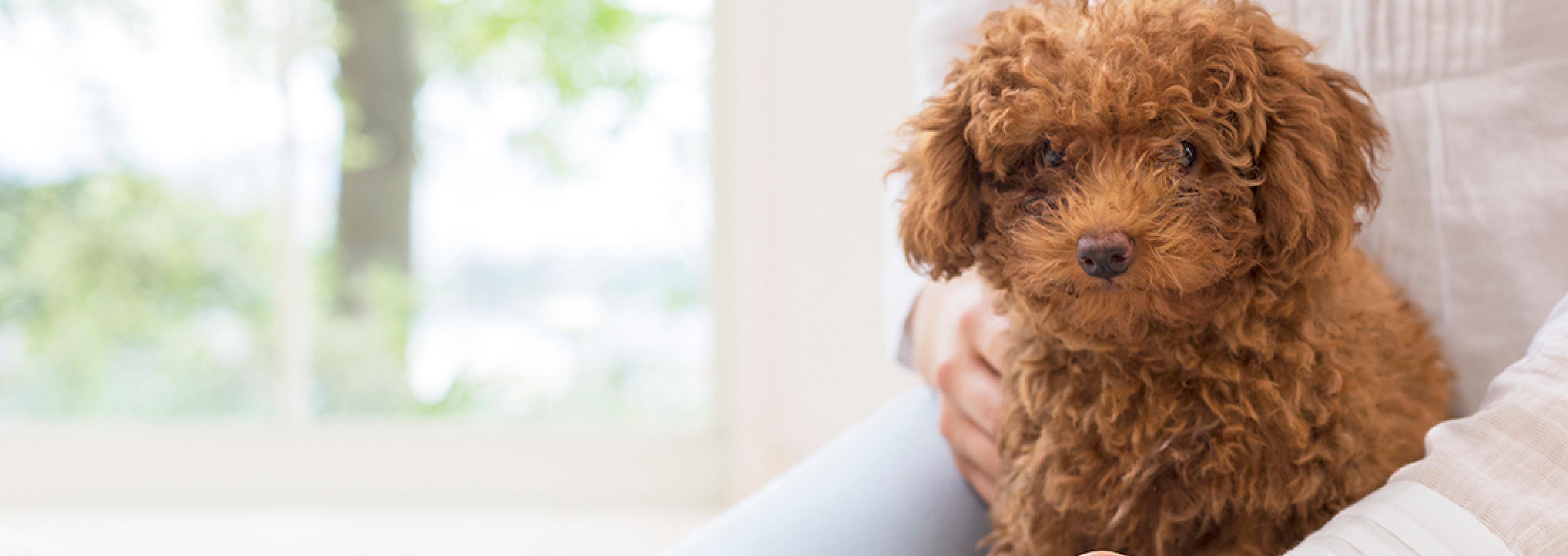 Facts Every Toy Poodle Owner Should Know