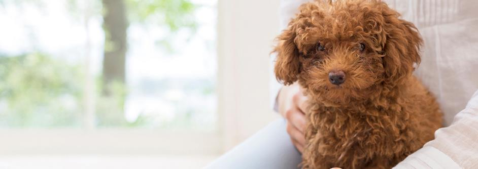 Facts Every Toy Poodle Owner Should Know Pedigree