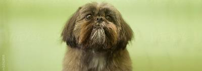 brown shih Tzu
