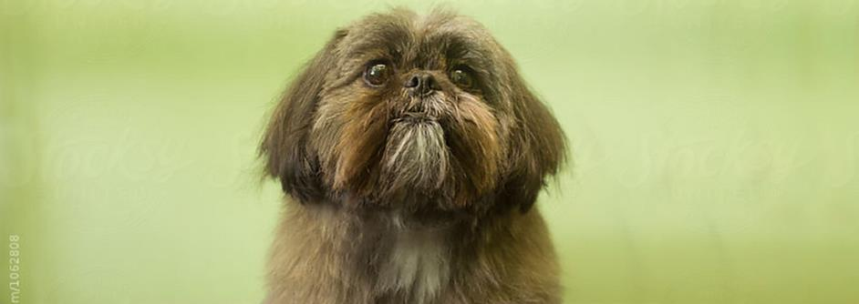 Dynasty Dogs The Royal History Of The Shih Tzu Pedigree