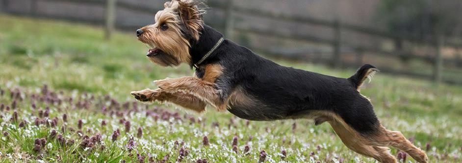 Yorkie running through field