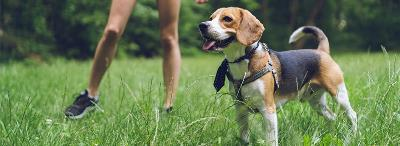 beagle and kid playing in grass