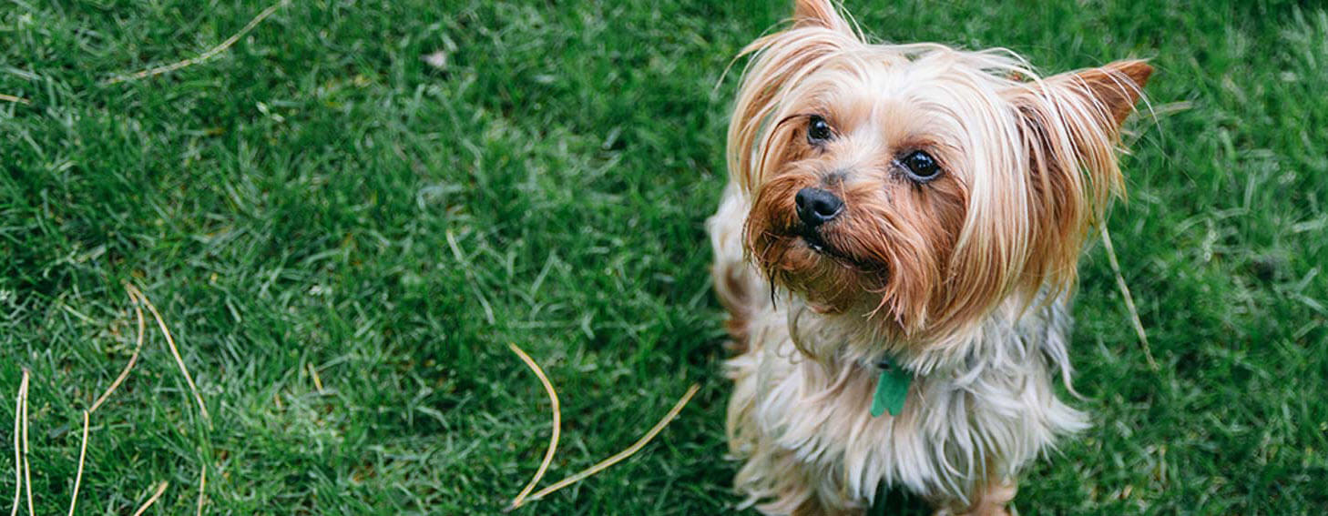 Top 5 Yorkie Health Risks | PEDIGREE®