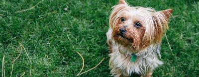 Top 5 Yorkie Health Risks
