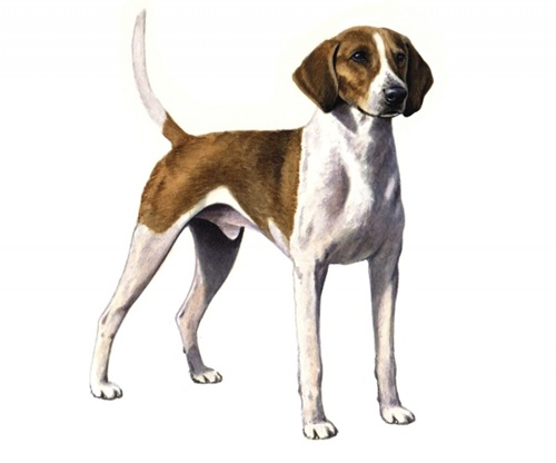 American Foxhound