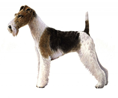 Wire Fox Terrier | PEDIGREE®
