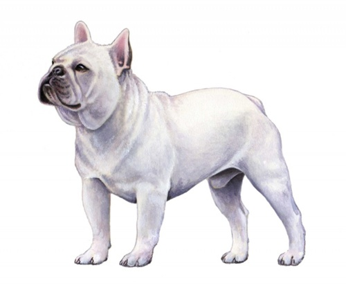 French Bulldog