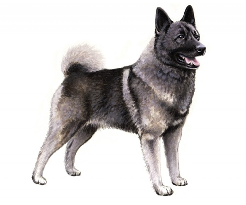 norwegian elkhound pedigree