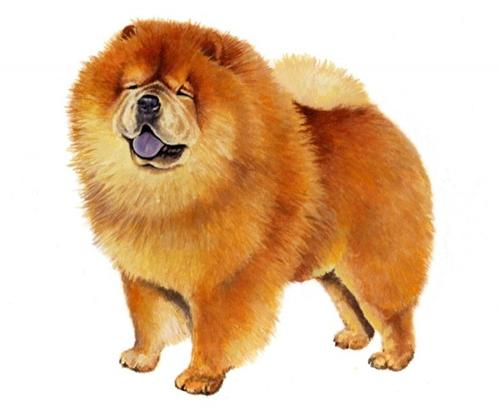 Where To Buy The Dog Breed Chow Chow